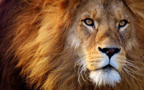 As A Lion Seeking Whom He May Devour